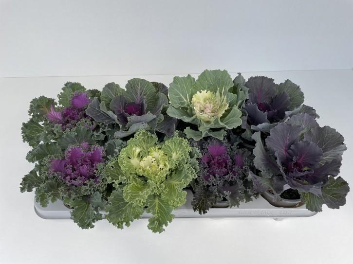 Brassica oleracea T 12  Mix