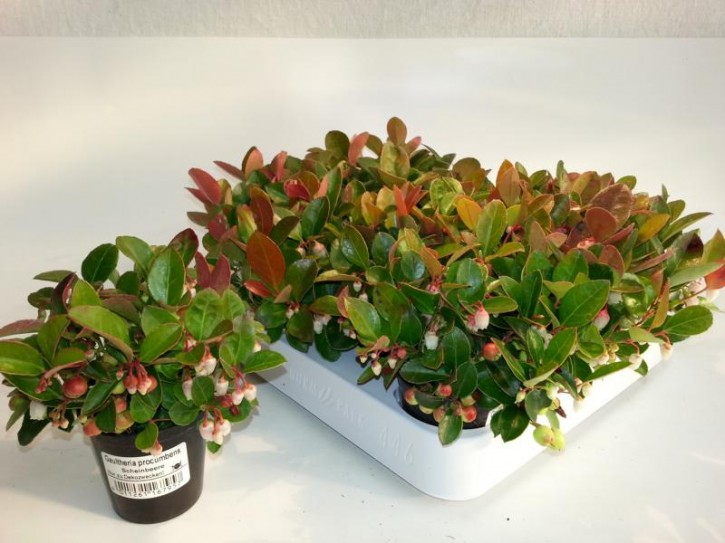 Gaultheria procumbens T 6 MINI