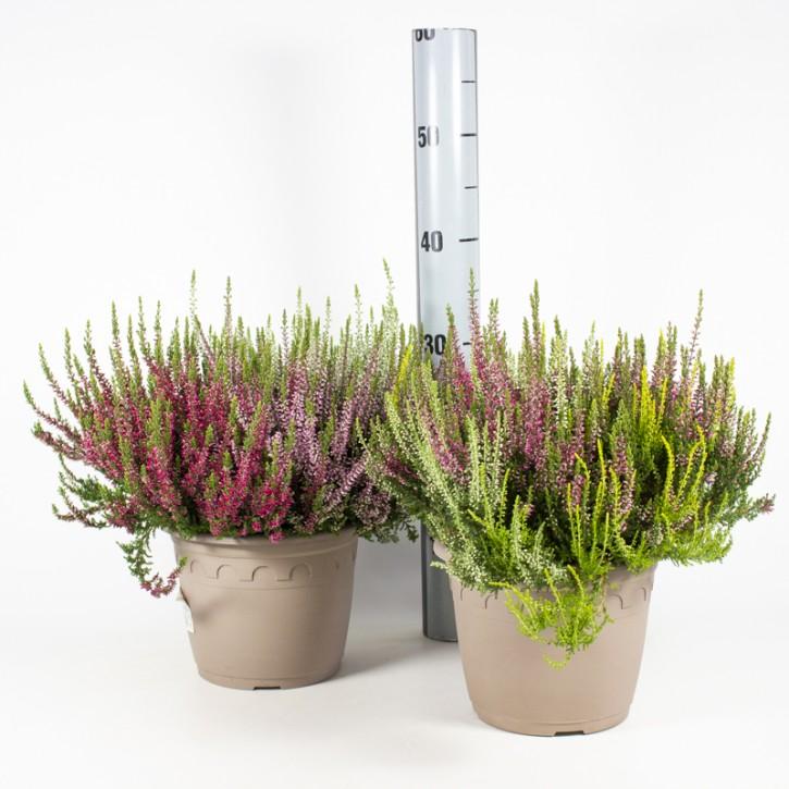 Calluna vulgaris   T 19   GardenGirls®   TRIO