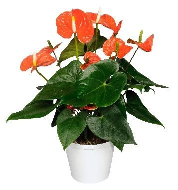 Anthurium-Andreanum-Hybr. T 17 'Madural Orange'