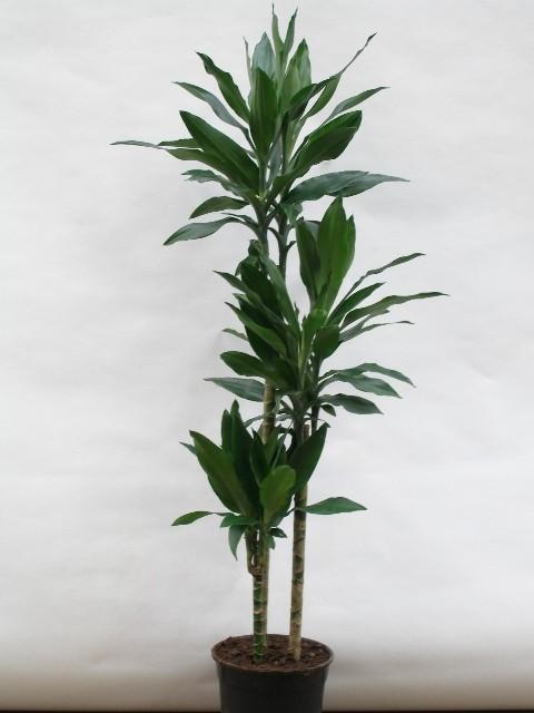 Dracaena deremensis   'Lind'   T 24  (90/60/30)   130 cm