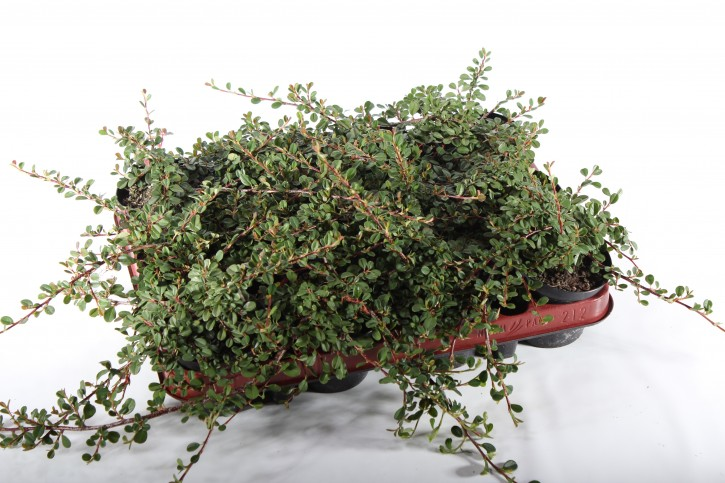 Cotoneaster microphyllus 'Queen of carpets' T 9