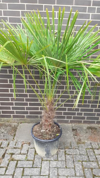 Trachycarpus fortunei T 40   (30/40)   140/160 cm
