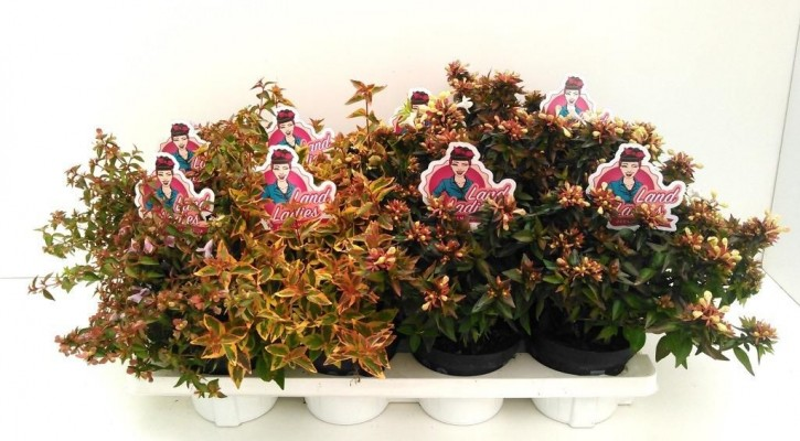 Abelia grandiflora LAND LADIES T 13 MIX-Palette