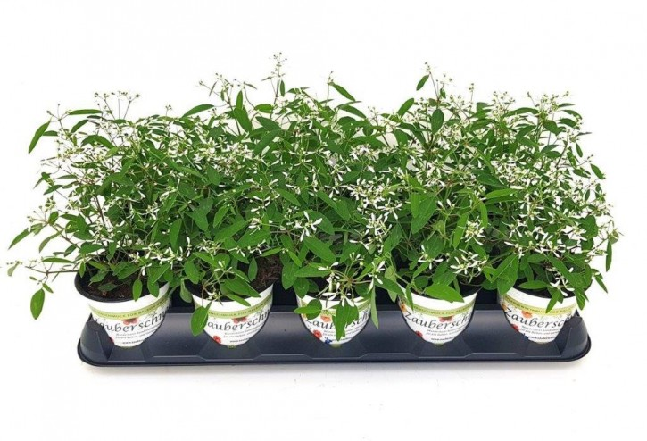 Euphorbia hypericifolia 'Diamond Forst' T 10,5