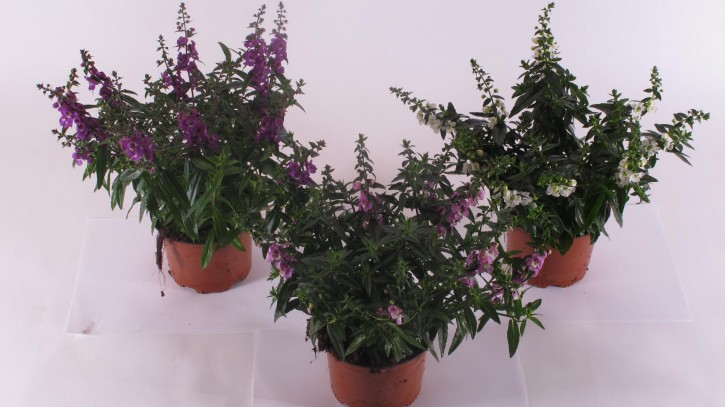 Angelonia angustifolia  T 13 MIX