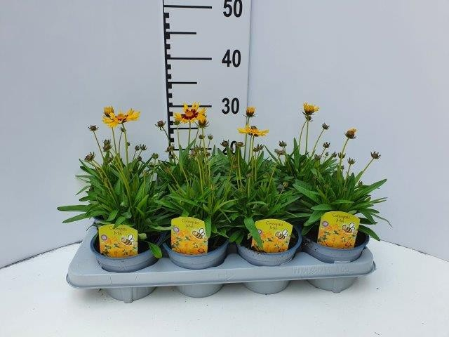 Coreopsis grandiflora T 13