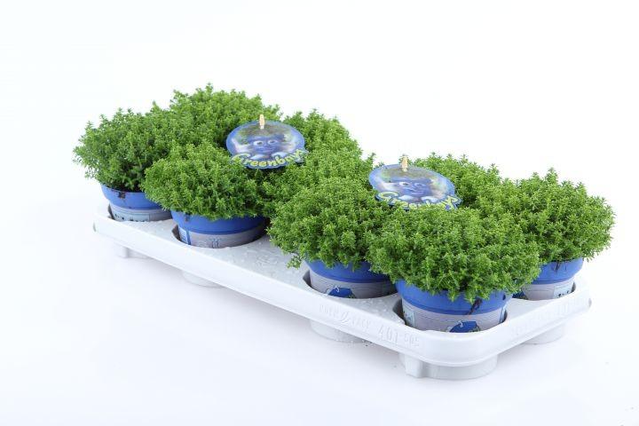 Hebe-Hybriden 'Green Globe' T 12