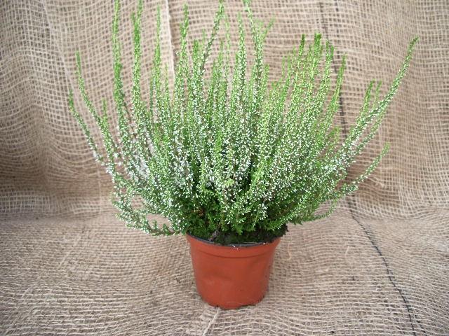 Calluna vulgaris T 11 'Elegantisima' (weiß gefüllt)