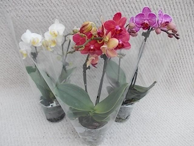 Phalaenopsis-Hybriden T 9 (2 Triebe)