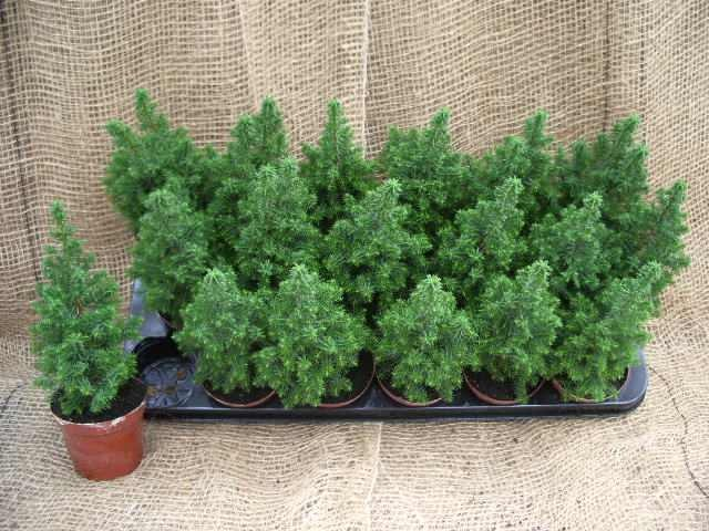 Chamaecyparis thyoides 'Top Point' T 9
