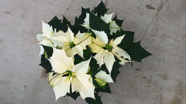 Euphorbia Pulcherrima Hybrid T 13 Gr. II, WEISS
