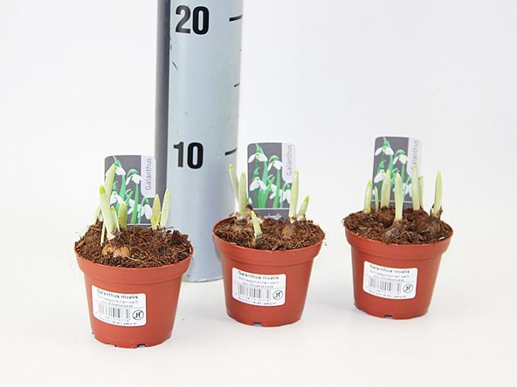 Galanthus nivalis T 8 (5 ppp)