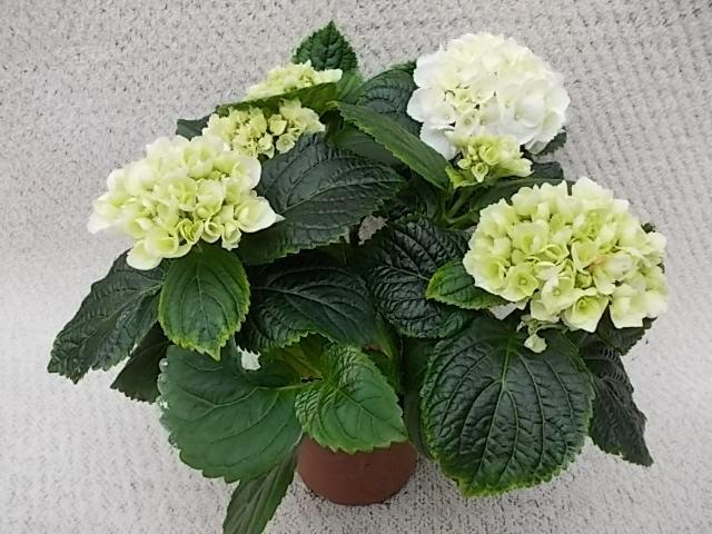 Hydrangea macrophylla T 10,5 Midi (3-4 Dolden) WEISS