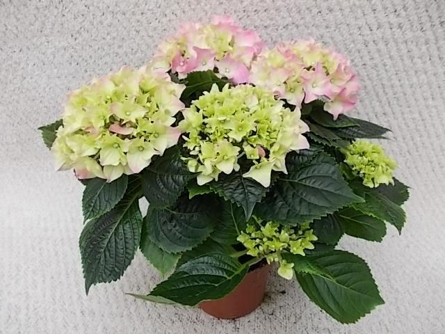 Hydrangea macrophylla T 10,5 Midi (3-4 Dolden) ROSA/ROT