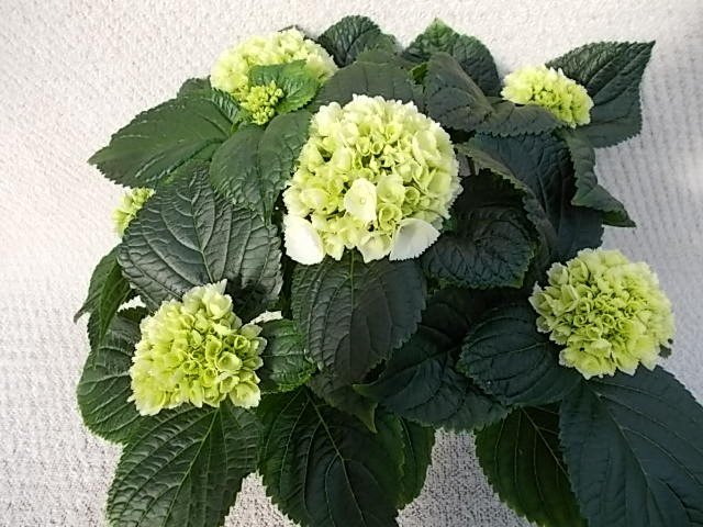 Hydrangea macrophylla T 13 (4-5 Blüten) WEISS • VE 6