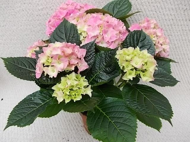 Hydrangea macrophylla T 13 (4-5 Blüten) ROSA/ROT • VE 6