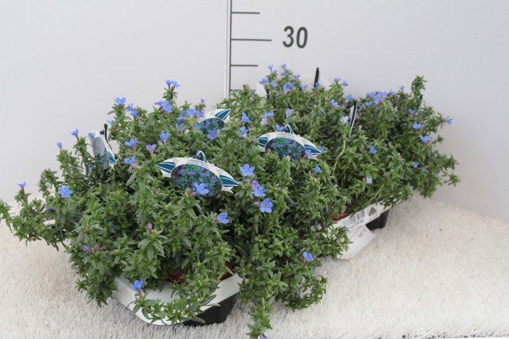 Lithodora diffusa 'Heavenly Blue' T 13 • VE 8