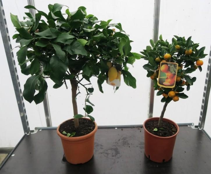 Citrus T 20 Stamm MIX