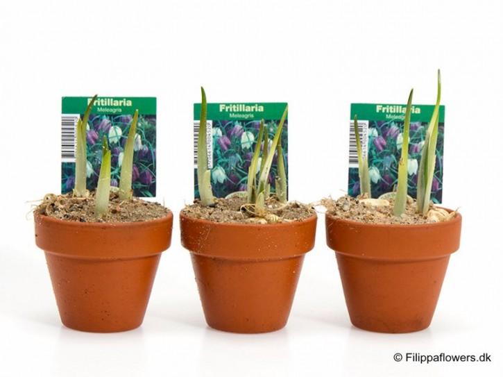 Fritillaria meleagris T 7 (3 ppp) Tontopf