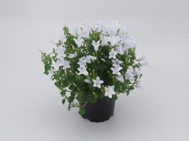 Campanula portenschlagiana T 10,5  WEISS