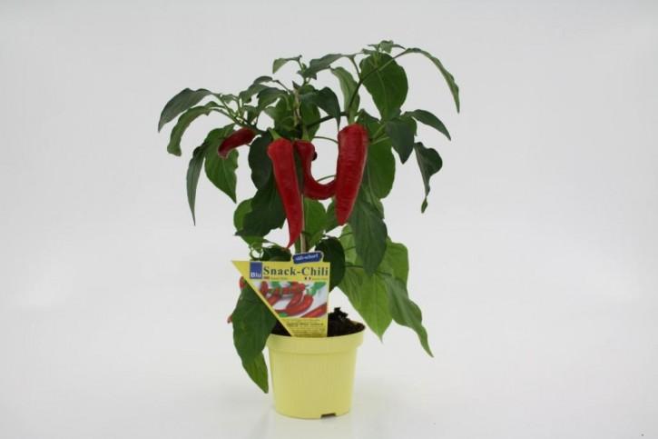 BLU-Snack-Chili T 12 (Capsicum annum) süß-scharf • VE 6