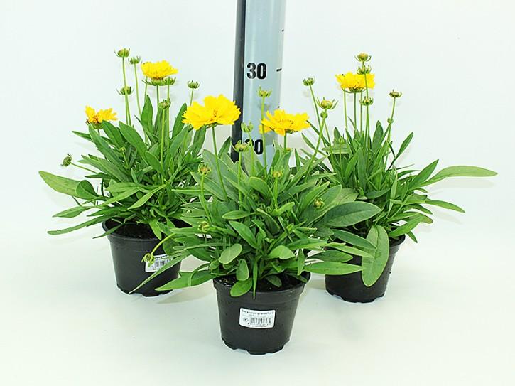 Coreopsis grandiflora T 13 HQ