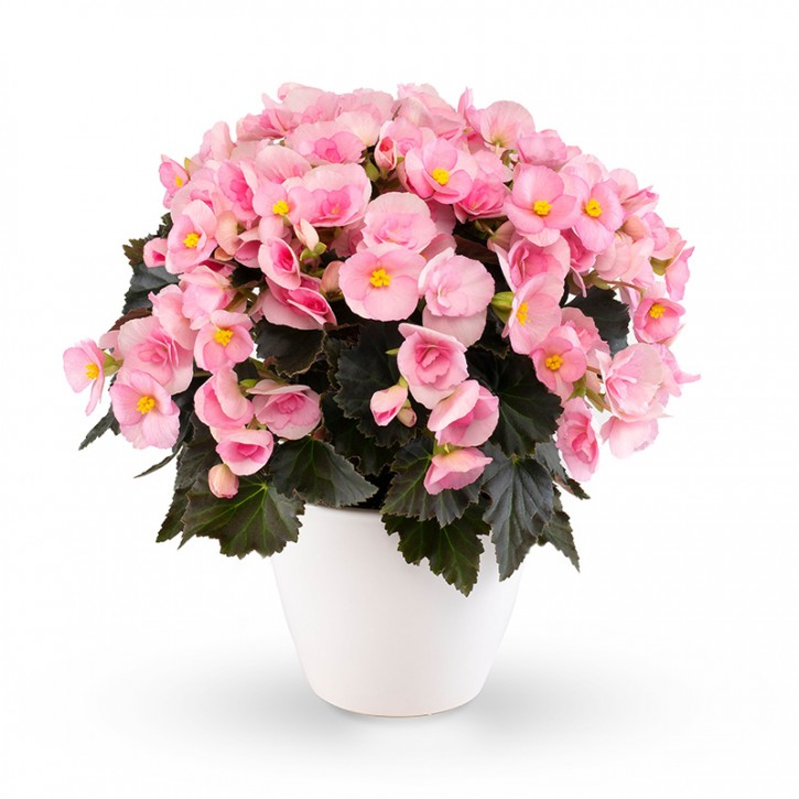Begonia-Elatior-Hybriden T 13 'Adonia Light Pink' (dunkellaubig)