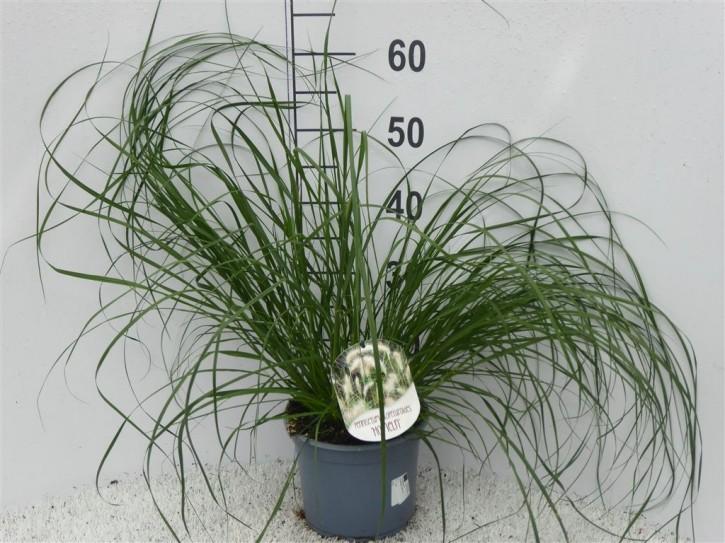 Pennisetum alopecuroides 'Hameln' T 19