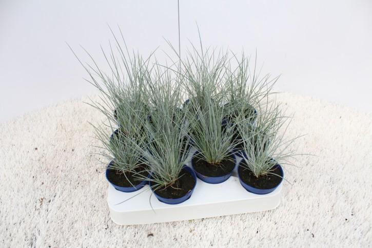 Festuca cinerea 'Glauca' T 6,5 Mini Silver-Land®
