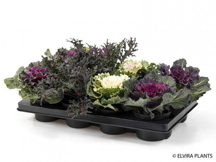 Brassica oleracea T 12  Mix (dk)