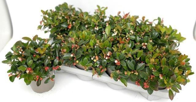 Gaultheria procumbens T 13