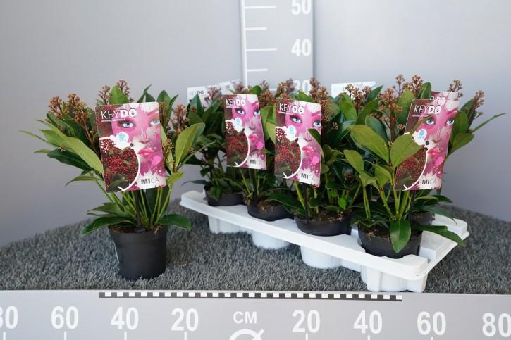 Skimmia japonica 'Mica' T 11 (8+ Dolden)