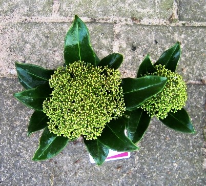 Skimmia japonica 'Fragrant Cloud' T 10 (2 Dolden)