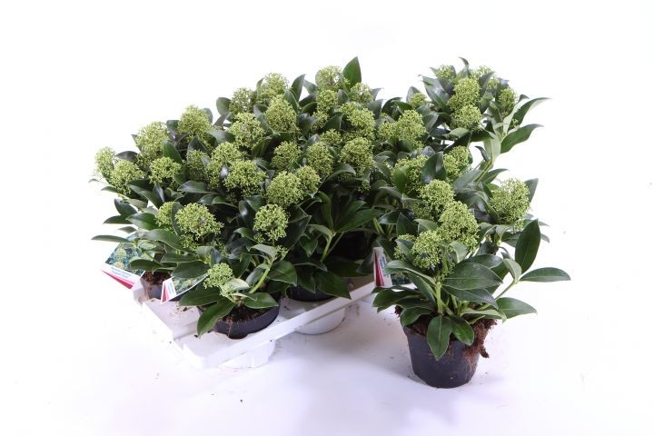 Skimmia japonica 'Fragrant Cloud' T 13 (6+ Dolden)