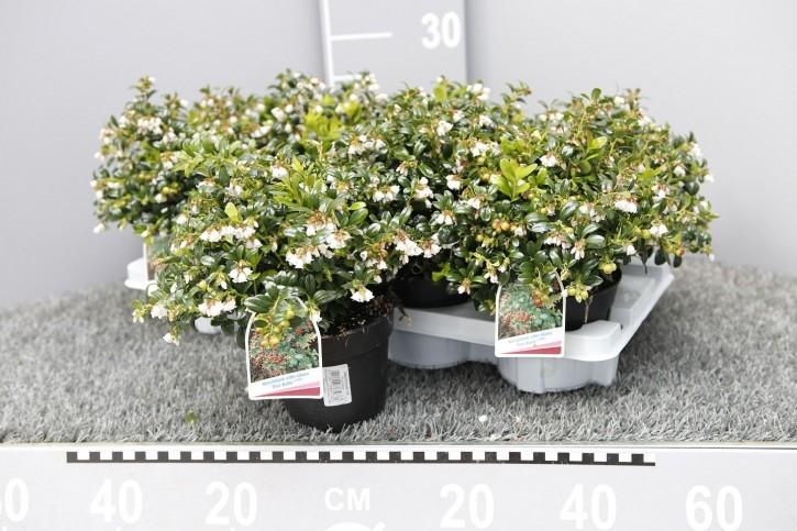 Vaccinium vitis-idaea 'Fireball' T 13
