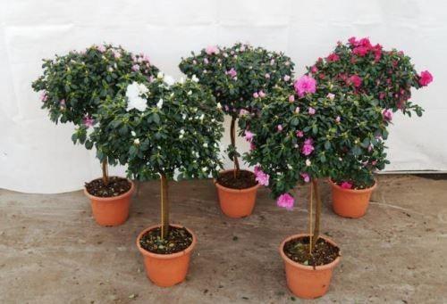 Rhododendron simsii T 21 Stamm  90 cm  MIX