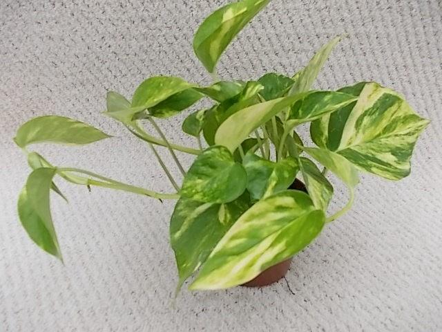 Epipremnum pinnatum 'Aureum' T 10