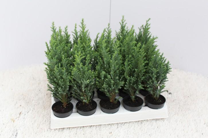 Chamaecyparis lawsoniana 'Ellwooodii' T 5,5 MINI