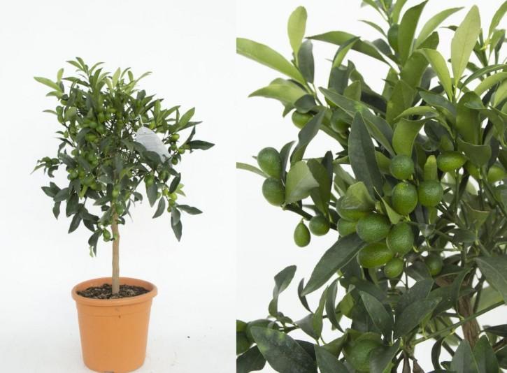 Fortunella japonica T 20 Stamm  KUMQUAT