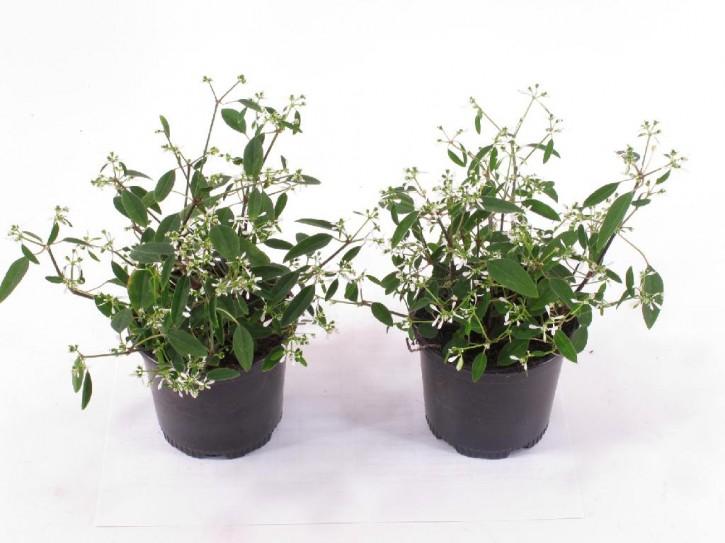 Euphorbia hypericifolia 'Diamant Forst' T 12