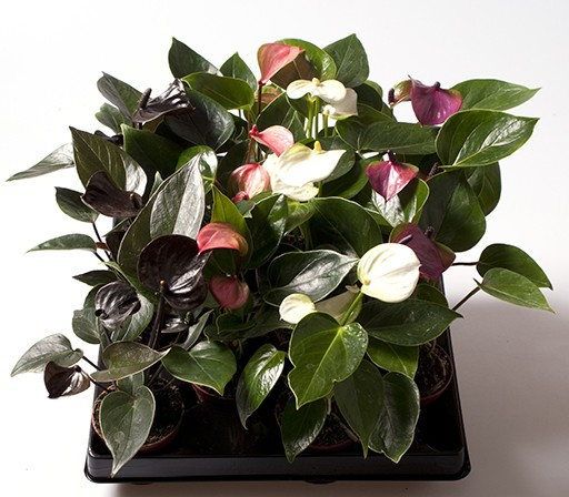 Anthurium-Andreanum-Hybr.T 6 MINI Mix