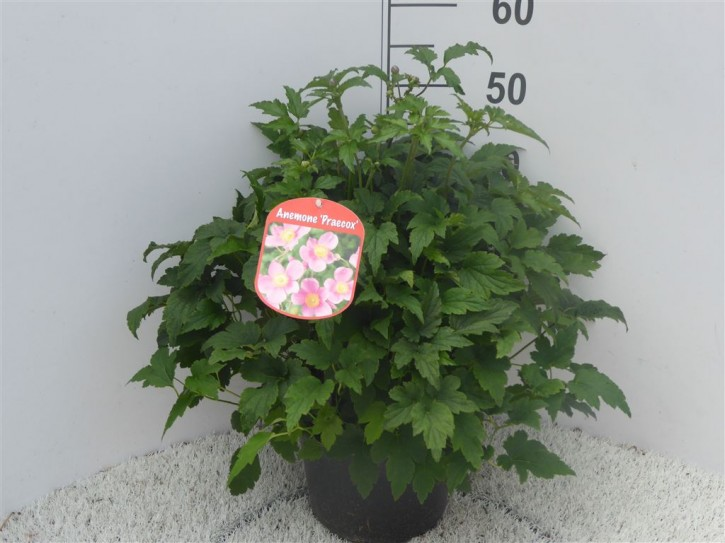 Anemone hupehensis japonica T 23 MIX