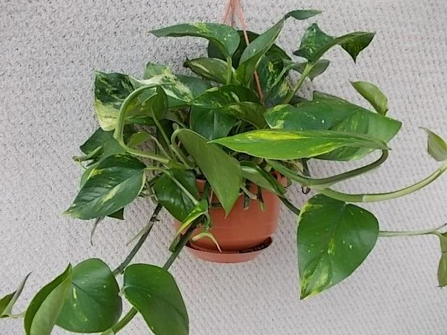 Epipremnum pinnatum 'Aureum' T 15 Ampel