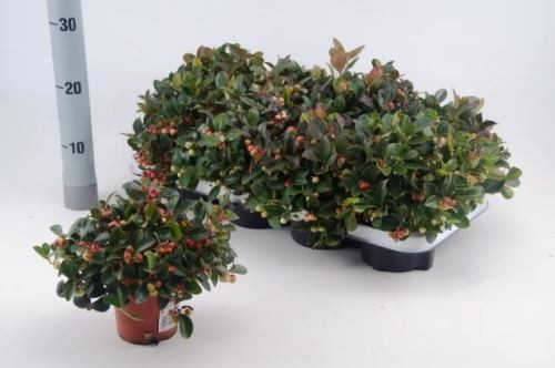 Gaultheria procumbens 'Winterpearls' T 11