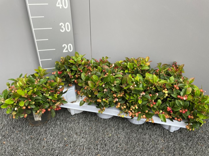 Gaultheria procumbens 'Winterpearls' T 11