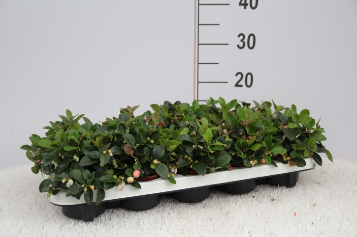 Gaultheria procumbens 'Big Berry' T 9