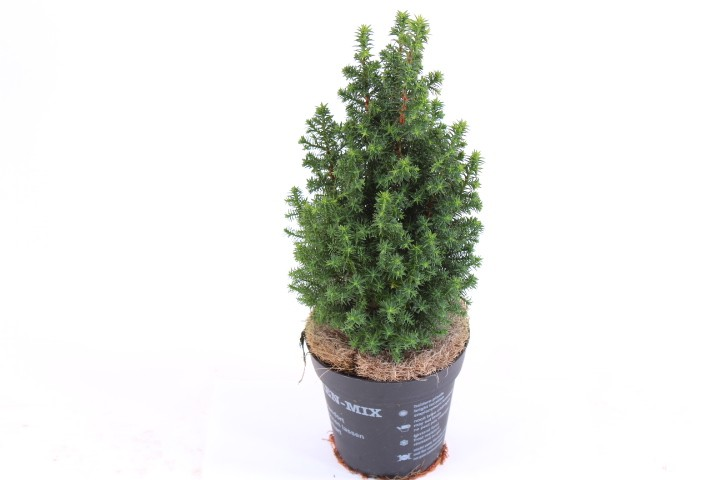 Chamaecyparis thyoides 'Top Point' T 13