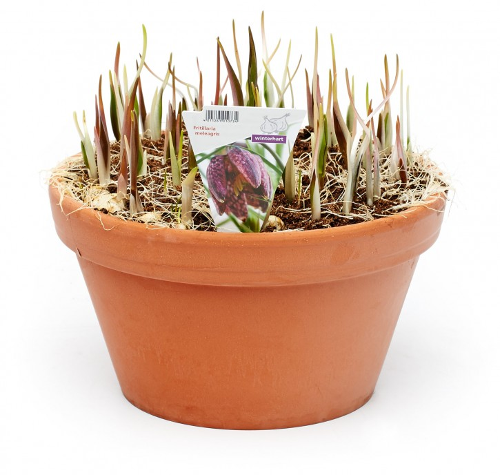 Fritillaria meleagris T 25 Tonschale (60 ppp)