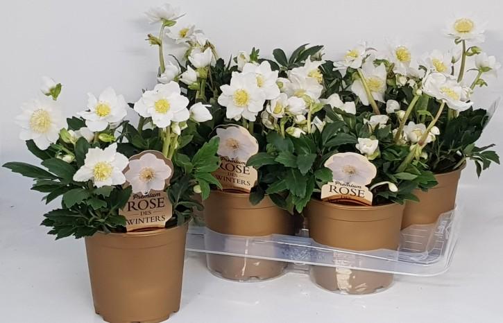 Helleborus niger 'HGC Wintergold' T 17  (Premium)